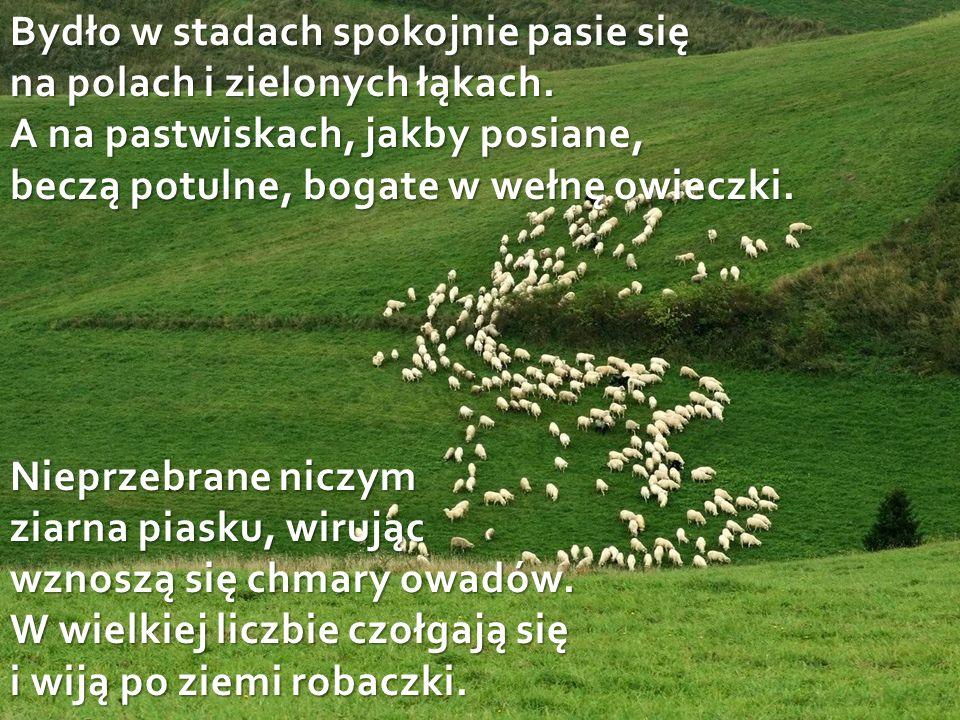 Bydło w stadach spokojnie pasie się na polach i zielonych łąkach.