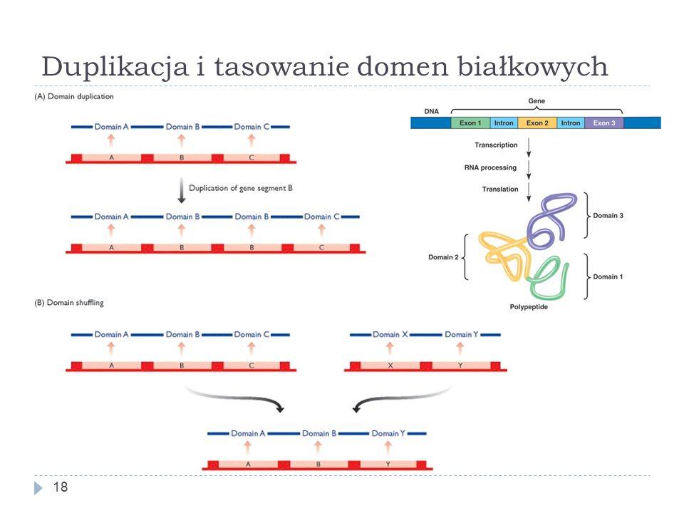 Duplikacja i tasowanie domen białkowych 18