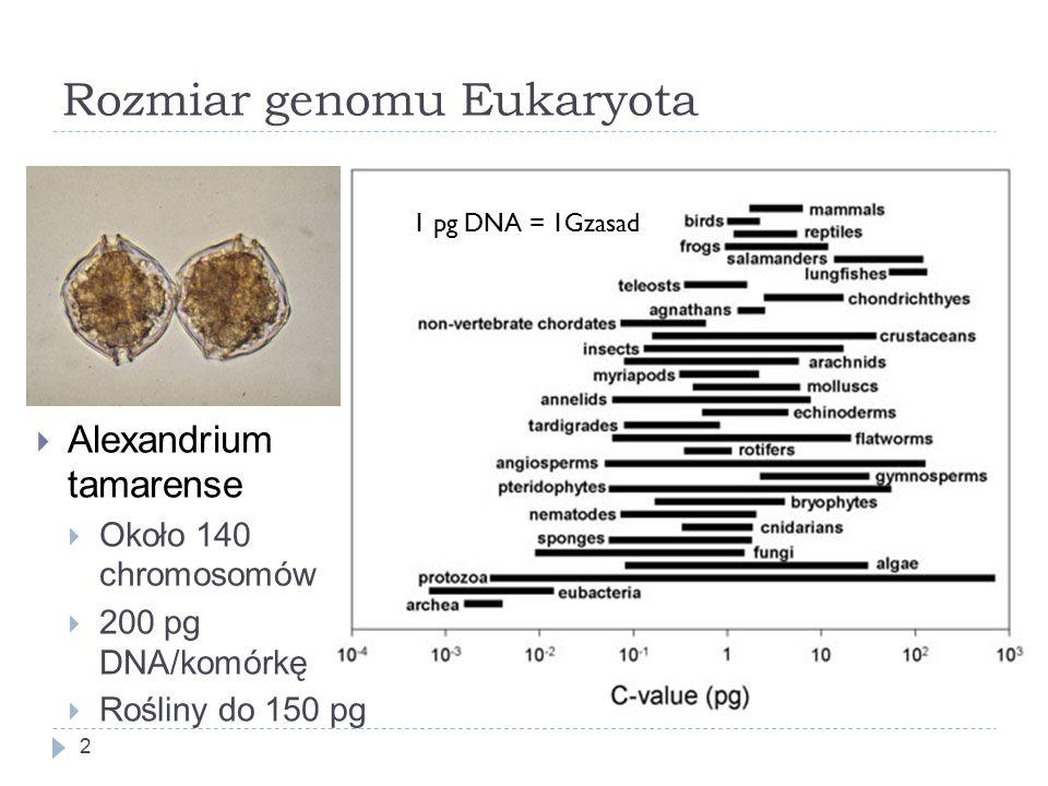 Rozmiar genomu Eukaryota 2 1 pg DNA = 1Gzasad  Alexandrium tamarense  Około 140 chromosomów  200 pg DNA/komórkę  Rośliny do 150 pg
