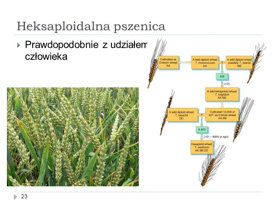 Heksaploidalna pszenica 23  Prawdopodobnie z udziałem człowieka