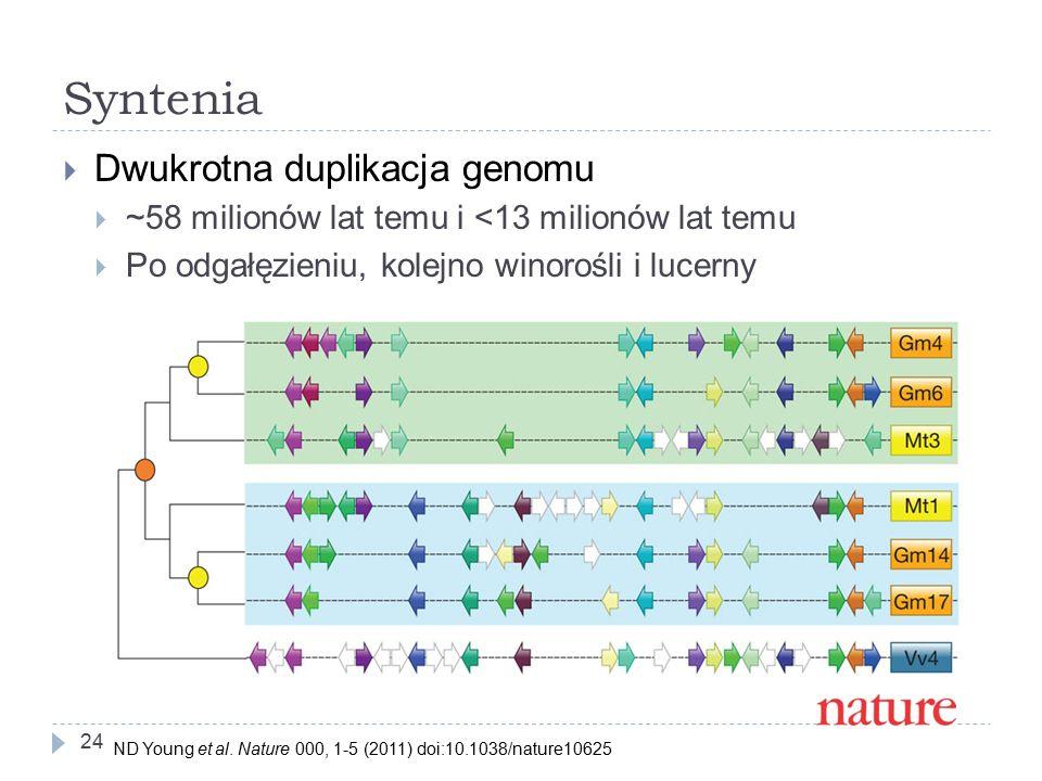 Syntenia 24  Dwukrotna duplikacja genomu  ~58 milionów lat temu i <13 milionów lat temu  Po odgałęzieniu, kolejno winorośli i lucerny ND Young et al.