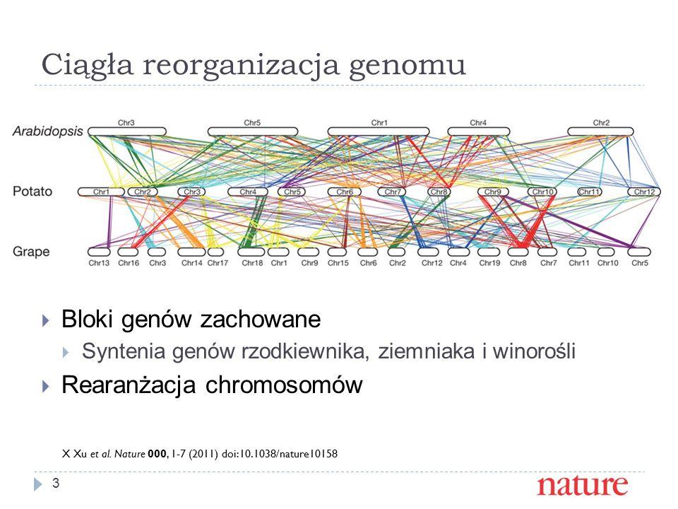 Ciągła reorganizacja genomu 3  Bloki genów zachowane  Syntenia genów rzodkiewnika, ziemniaka i winorośli  Rearanżacja chromosomów X Xu et al.