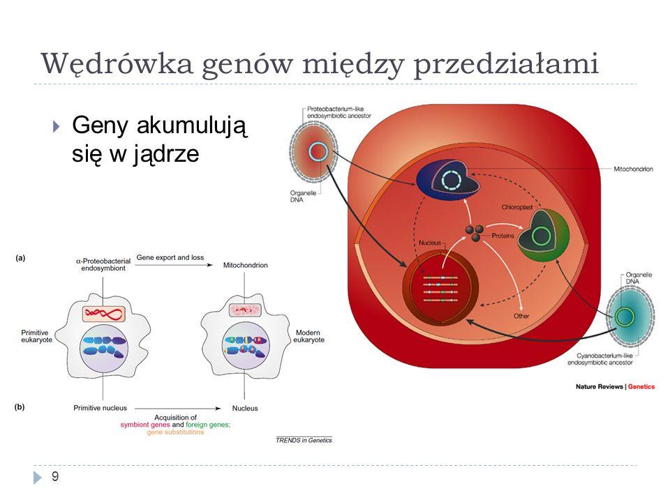 Wędrówka genów między przedziałami 9  Geny akumulują się w jądrze