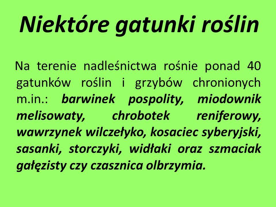 Niektóre gatunki roślin Na terenie nadleśnictwa rośnie ponad 40 gatunków roślin i grzybów chronionych m.in.: barwinek pospolity, miodownik melisowaty,