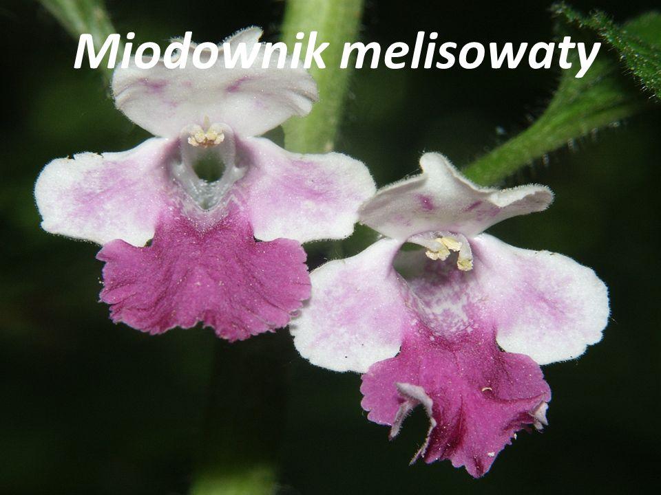 Miodownik melisowaty
