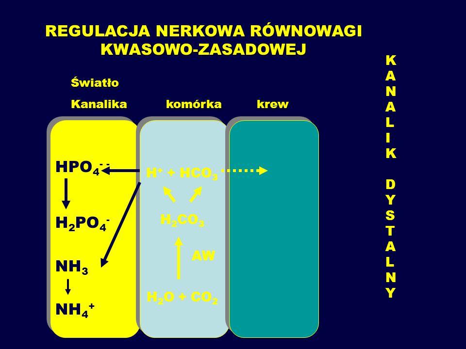 REGULACJA NERKOWA RÓWNOWAGI KWASOWO-ZASADOWEJ H 2 CO 3 Światło Kanalika komórka krew H + ATPaza NHE 3 NHE 3 HCO 3 + H + H 2 CO 3 AW H 2 O + CO 2 CO 2 +H 2 O AW HHCO 3 Na KANALIKPROKSYMALNYKANALIKPROKSYMALNY