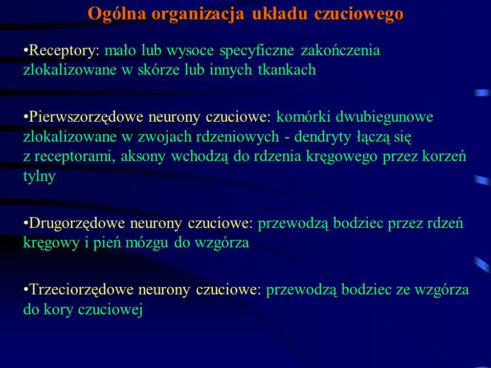 Ogólna organizacja układu czuciowego Receptory: mało lub wysoce specyficzne zakończenia zlokalizowane w skórze lub innych tkankachReceptory: mało lub wysoce specyficzne zakończenia zlokalizowane w skórze lub innych tkankach Pierwszorzędowe neurony czuciowe: komórki dwubiegunowe zlokalizowane w zwojach rdzeniowych - dendryty łączą się z receptorami, aksony wchodzą do rdzenia kręgowego przez korzeń tylnyPierwszorzędowe neurony czuciowe: komórki dwubiegunowe zlokalizowane w zwojach rdzeniowych - dendryty łączą się z receptorami, aksony wchodzą do rdzenia kręgowego przez korzeń tylny Drugorzędowe neurony czuciowe: przewodzą bodziec przez rdzeń kręgowy i pień mózgu do wzgórzaDrugorzędowe neurony czuciowe: przewodzą bodziec przez rdzeń kręgowy i pień mózgu do wzgórza Trzeciorzędowe neurony czuciowe: przewodzą bodziec ze wzgórza do kory czuciowejTrzeciorzędowe neurony czuciowe: przewodzą bodziec ze wzgórza do kory czuciowej