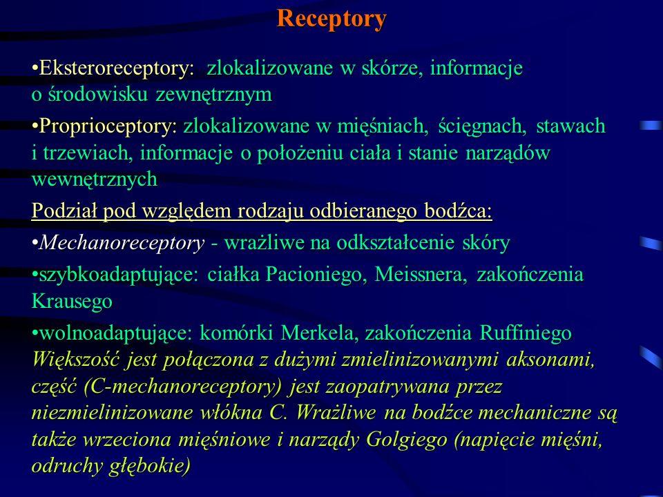 Receptory Eksteroreceptory: zlokalizowane w skórze, informacje o środowisku zewnętrznymEksteroreceptory: zlokalizowane w skórze, informacje o środowisku zewnętrznym Proprioceptory: zlokalizowane w mięśniach, ścięgnach, stawach i trzewiach, informacje o położeniu ciała i stanie narządów wewnętrznychProprioceptory: zlokalizowane w mięśniach, ścięgnach, stawach i trzewiach, informacje o położeniu ciała i stanie narządów wewnętrznych Podział pod względem rodzaju odbieranego bodźca: Mechanoreceptory - wrażliwe na odkształcenie skóryMechanoreceptory - wrażliwe na odkształcenie skóry szybkoadaptujące: ciałka Pacioniego, Meissnera, zakończenia Krausegoszybkoadaptujące: ciałka Pacioniego, Meissnera, zakończenia Krausego wolnoadaptujące: komórki Merkela, zakończenia Ruffiniego Większość jest połączona z dużymi zmielinizowanymi aksonami, część (C-mechanoreceptory) jest zaopatrywana przez niezmielinizowane włókna C.