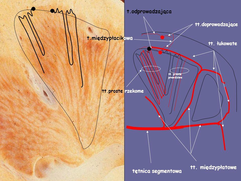 tętnica segmentowa tt. międzypłatowe tt. łukowate tt.doprowadzające tt.proste rzekome t.międzypłacikowa t.odprowadzająca tt. proste prawdziwe
