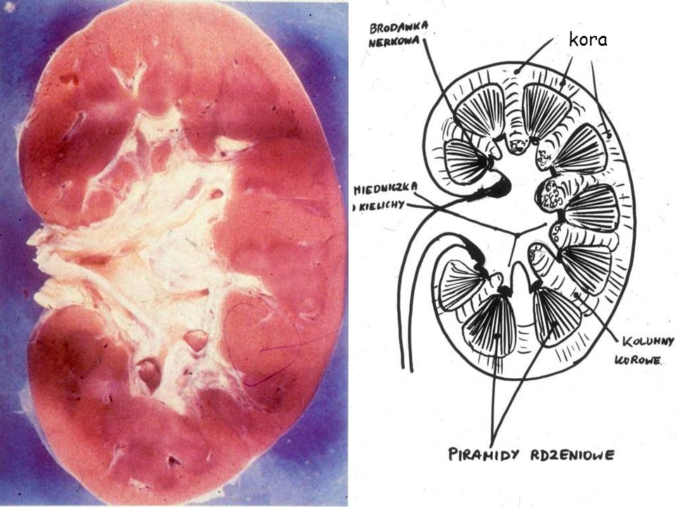 błona podstawna kłębuszka komórka mezangium macierz mezangium podocyt naczynia kłębuszka