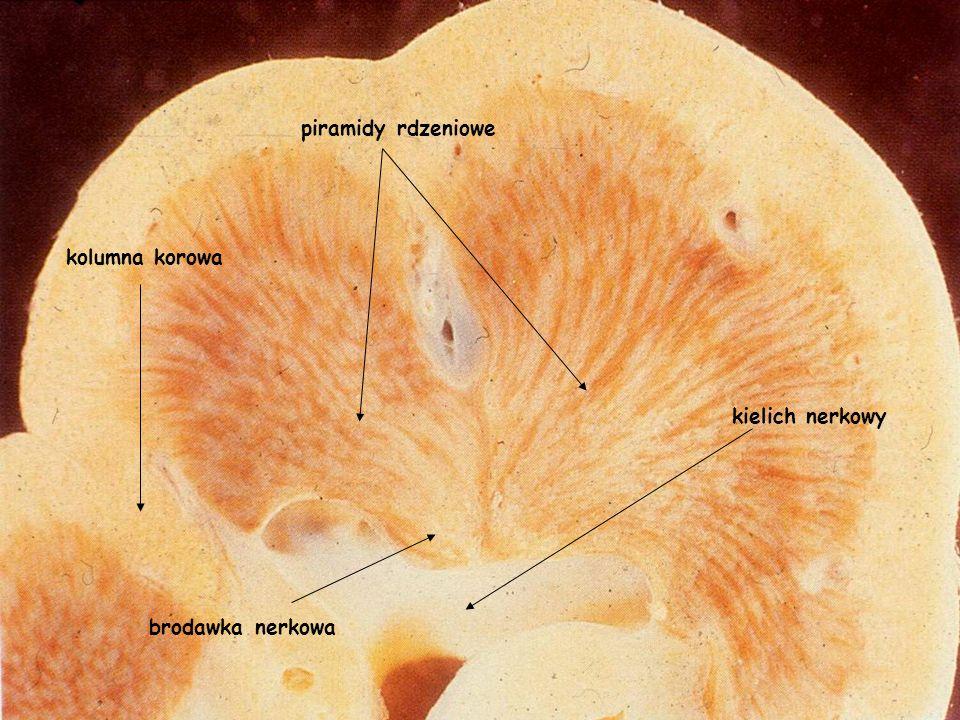 piramidy rdzeniowe kolumna korowa kielich nerkowy brodawka nerkowa