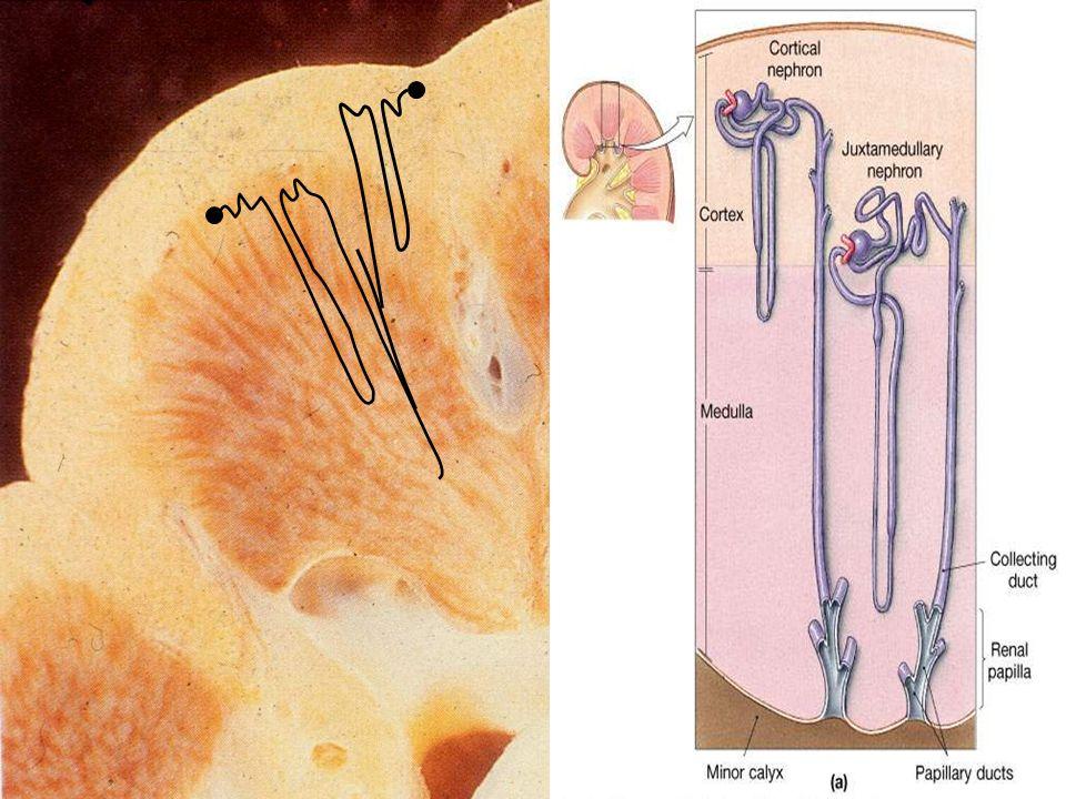 Funkcje nerki 1.Wydzielnicza 2.Metaboliczna 3.Wydalnicza 4.Utrzymanie równowagi wodno-elektrolitowej 5.Utrzymanie równowagi kwasowo-zasadowej 6.Ochrona białek przed utratą z organizmu