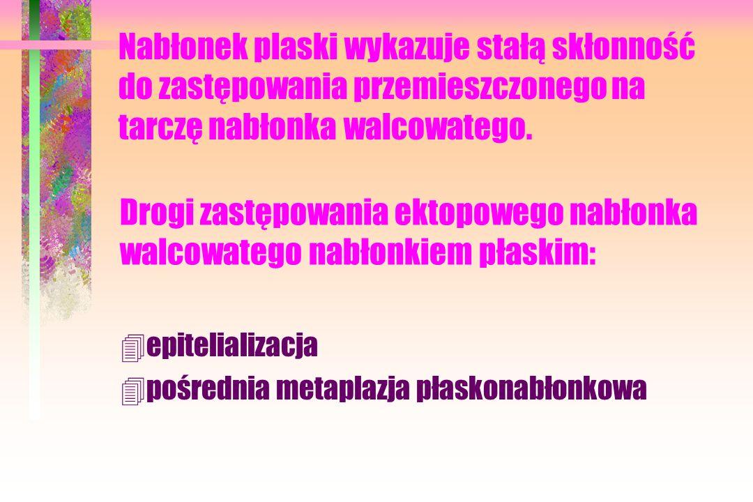 Drogi zastępowania ektopowego nabłonka walcowatego nabłonkiem płaskim: 4epitelializacja 4pośrednia metaplazja płaskonabłonkowa Nabłonek plaski wykazuje stałą skłonność do zastępowania przemieszczonego na tarczę nabłonka walcowatego.