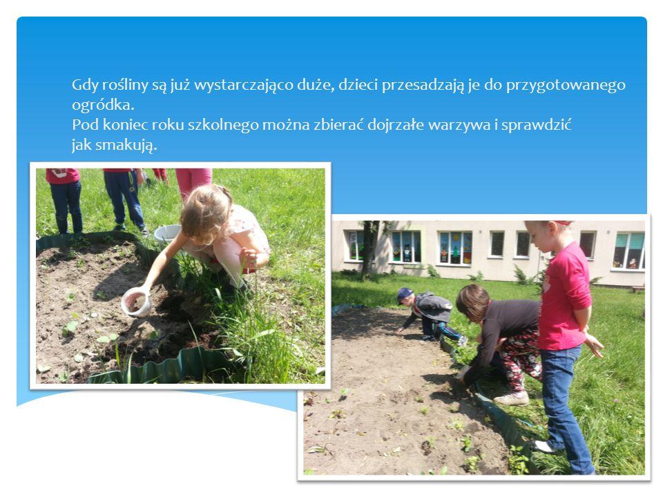 Gdy rośliny są już wystarczająco duże, dzieci przesadzają je do przygotowanego ogródka. Pod koniec roku szkolnego można zbierać dojrzałe warzywa i spr