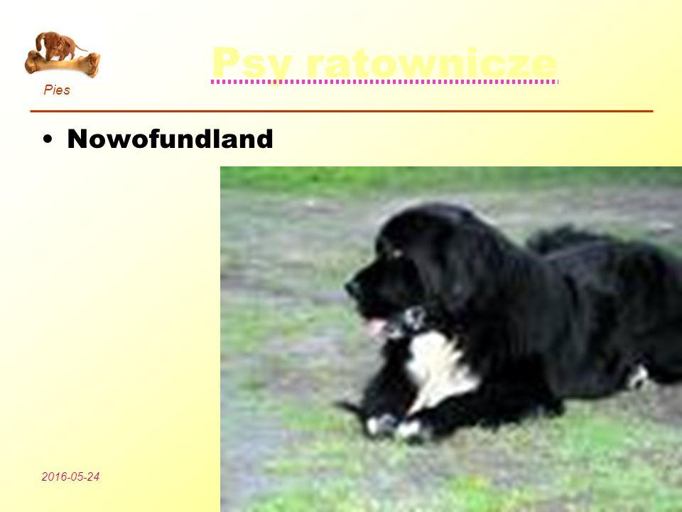 Pies Podział psów 2016-05-24Wszystko o psach11 Psy ratownicze Nowofundland