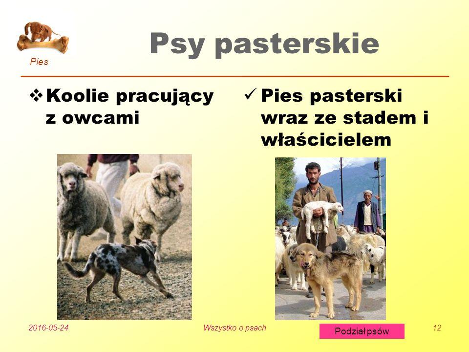Pies Podział psów 2016-05-24Wszystko o psach12 Psy pasterskie  Koolie pracujący z owcami Pies pasterski wraz ze stadem i właścicielem