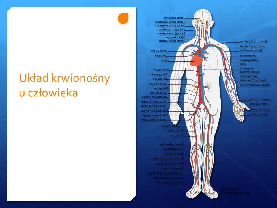 Krwiobieg mały (płucny) komora prawaKtętnica płuca Włośniczki tętniczo-żylne płuc żyły płucneprzedsionek lewy Krwiobieg duży (obwodowy) komora lewaaorta włośniczki w tkankach żyły główne przedsionek prawy Obieg krwi