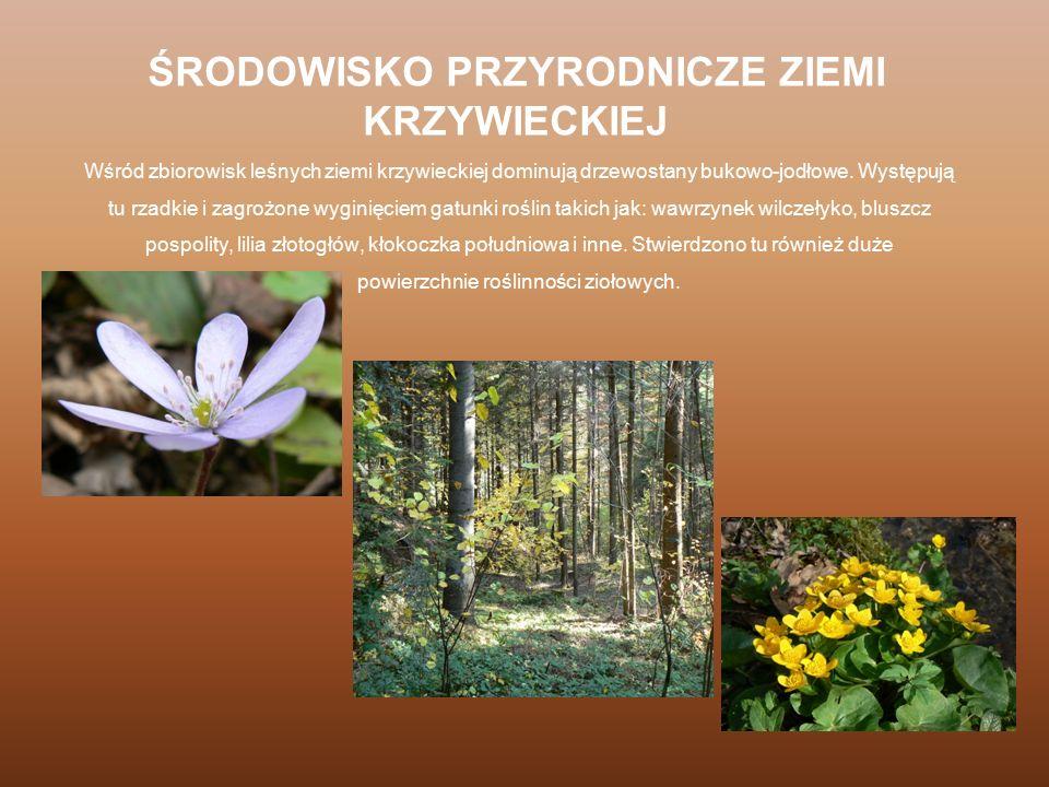 Wśród zbiorowisk leśnych ziemi krzywieckiej dominują drzewostany bukowo-jodłowe. Występują tu rzadkie i zagrożone wyginięciem gatunki roślin takich ja
