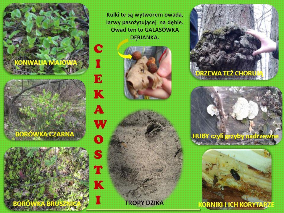 KONWALIA MAJOWA BORÓWKA BRUSZNICA BORÓWKA CZARNA HUBY czyli grzyby nadrzewne DRZEWA TEŻ CHORUJĄ Kulki te są wytworem owada, larwy pasożytującej na dębie.