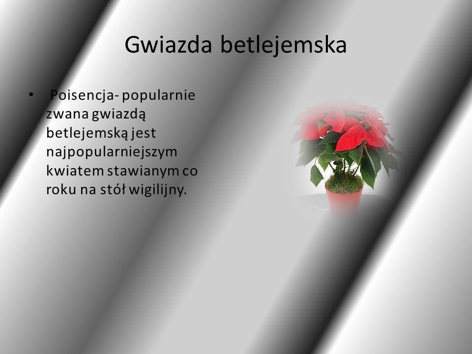Gwiazda betlejemska Poisencja- popularnie zwana gwiazdą betlejemską jest najpopularniejszym kwiatem stawianym co roku na stół wigilijny.