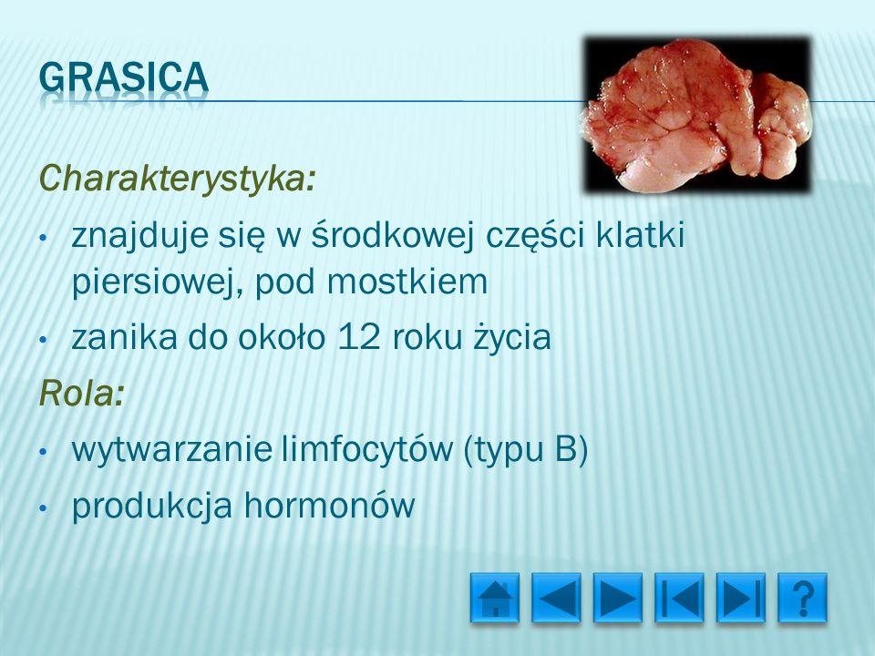 Charakterystyka: znajduje się w środkowej części klatki piersiowej, pod mostkiem zanika do około 12 roku życia Rola: wytwarzanie limfocytów (typu B) produkcja hormonów