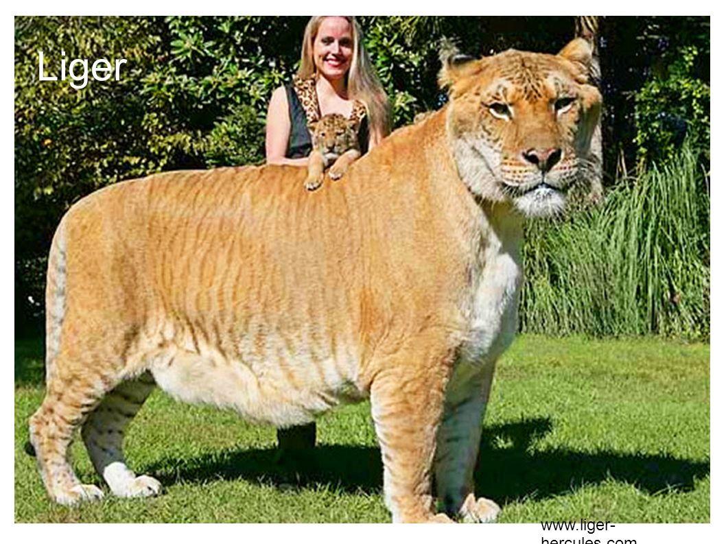 Liger www.liger- hercules.com