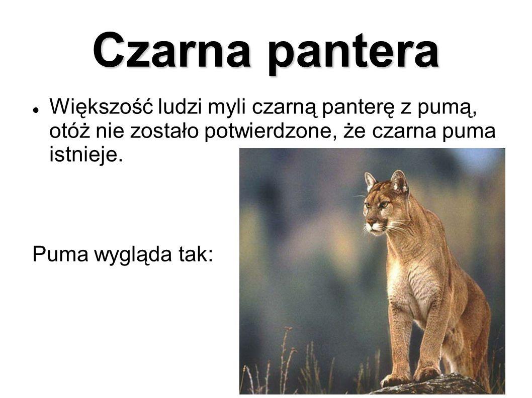 Czarna pantera Większość ludzi myli czarną panterę z pumą, otóż nie zostało potwierdzone, że czarna puma istnieje. Puma wygląda tak: