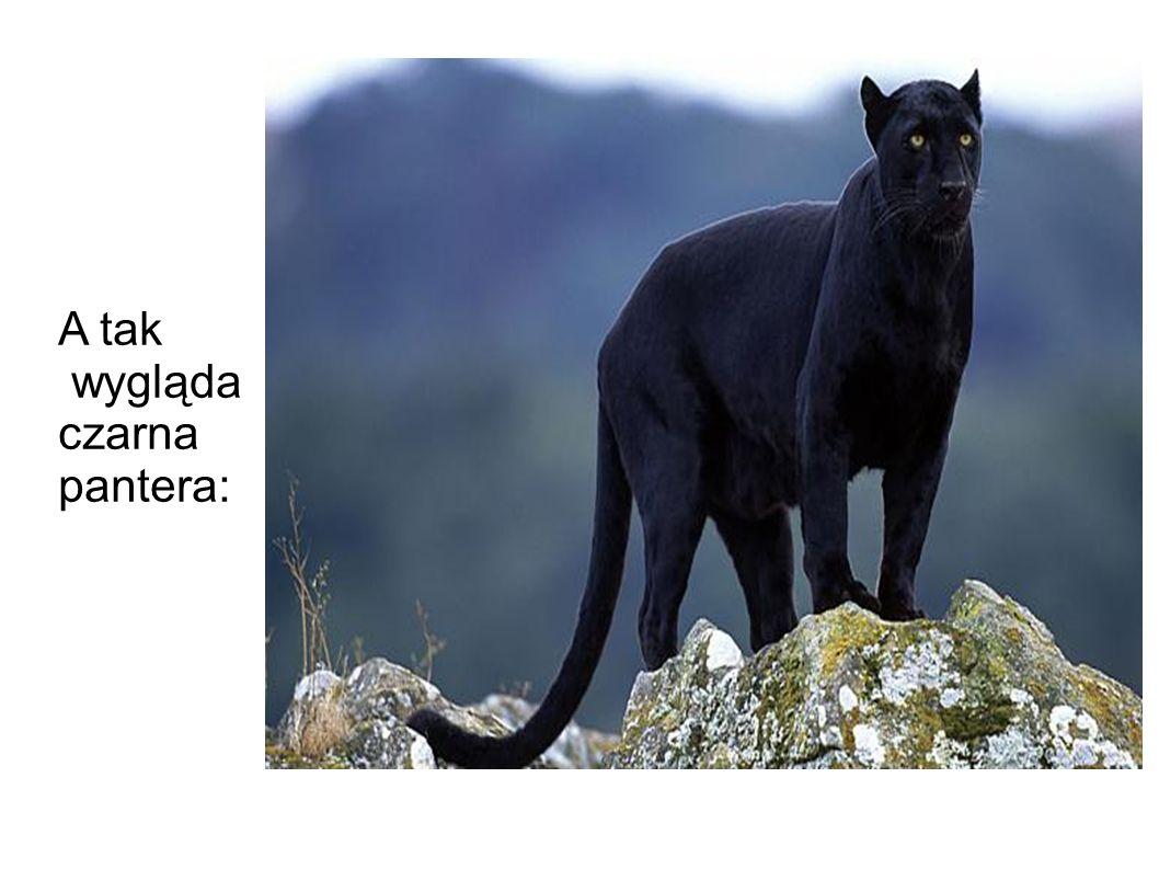 A tak wygląda czarna pantera: