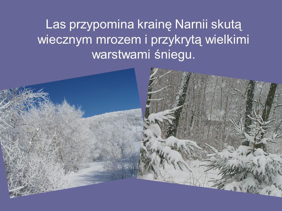 Las przypomina krainę Narnii skutą wiecznym mrozem i przykrytą wielkimi warstwami śniegu.