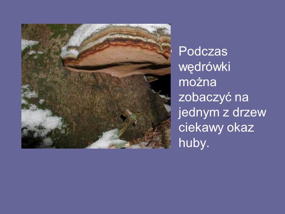 Podczas wędrówki można zobaczyć na jednym z drzew ciekawy okaz huby.