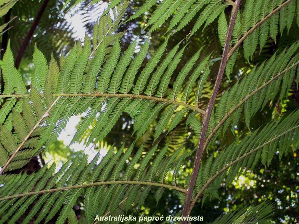 Australian Tree Fern (Cyathea cooperi) Portugal: Feto arbóreo Rodzina: Cyatheaceae (olbrzymkowate), z Australii Australijska paproć drzewiasta