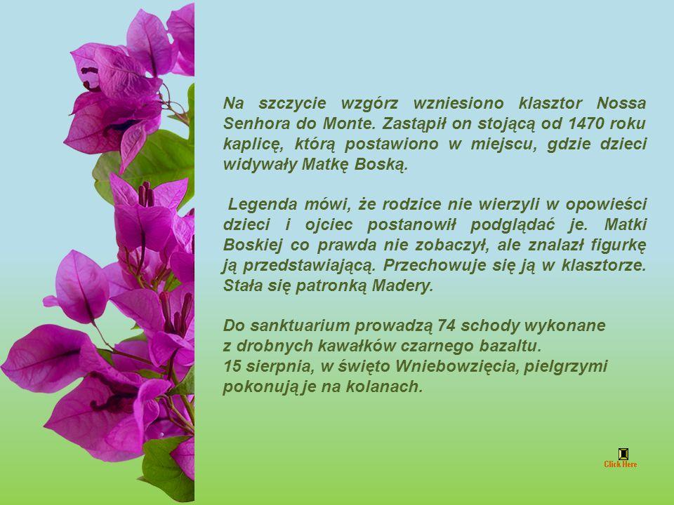 Cycad, Cica (Encephalartos natalensis) Rodzina: Zamiaceae z Afryki Płd.