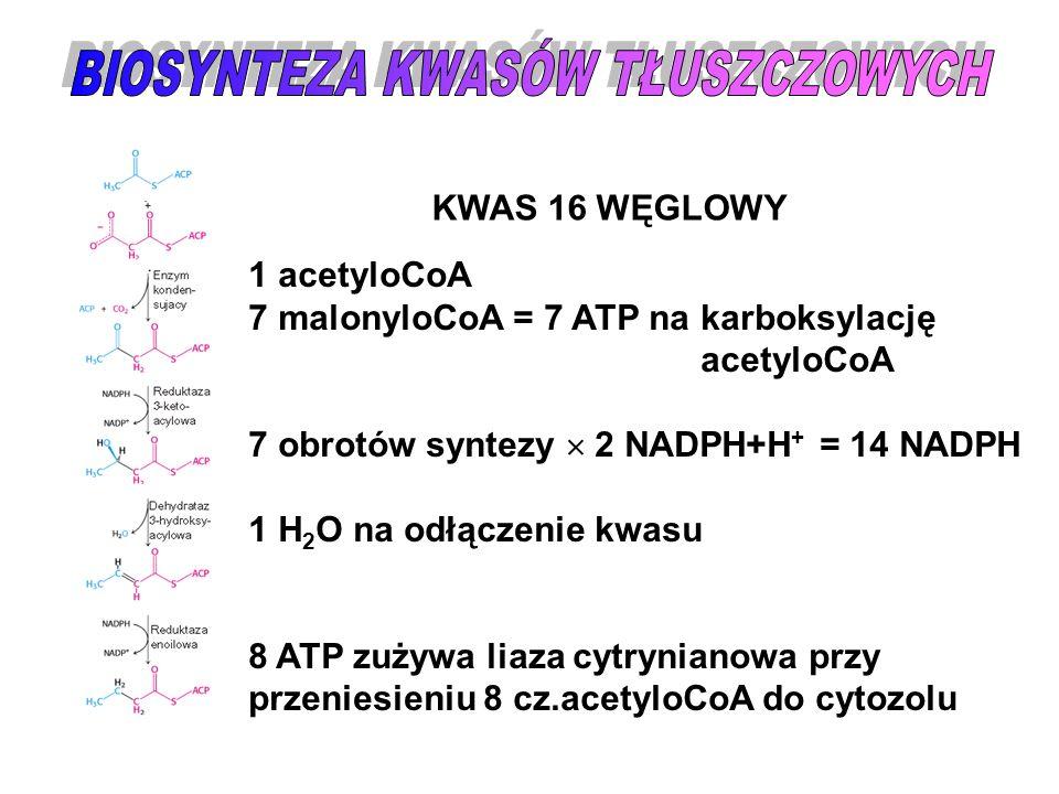 KWAS 16 WĘGLOWY 1 acetyloCoA 7 malonyloCoA = 7 ATP na karboksylację acetyloCoA 7 obrotów syntezy  2 NADPH+H + = 14 NADPH 1 H 2 O na odłączenie kwasu