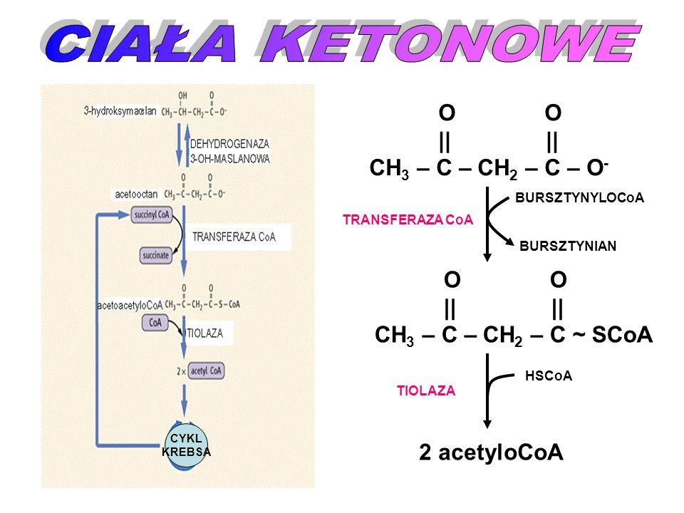 CYKL KREBSA O O || || CH 3 – C – CH 2 – C – O - O O || || CH 3 – C – CH 2 – C ~ SCoA BURSZTYNYLOCoA BURSZTYNIAN TRANSFERAZA CoA HSCoA 2 acetyloCoA TIO