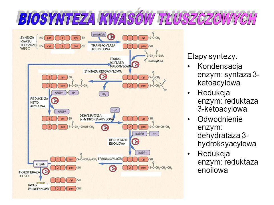 Etapy syntezy: Kondensacja enzym: syntaza 3- ketoacylowa Redukcja enzym: reduktaza 3-ketoacylowa Odwodnienie enzym: dehydrataza 3- hydroksyacylowa Red