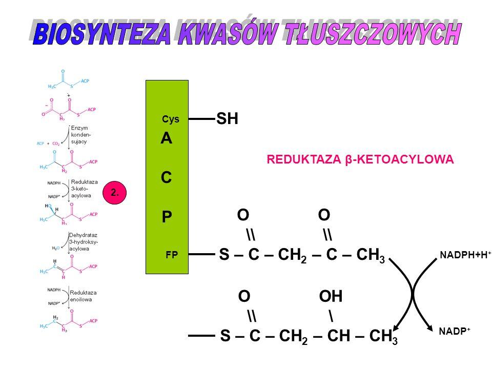 ACPACP Cys FP SH O O \\ \\ S – C – CH 2 – C – CH 3 2. REDUKTAZA β-KETOACYLOWA O OH \\ \ S – C – CH 2 – CH – CH 3 NADPH+H + NADP +