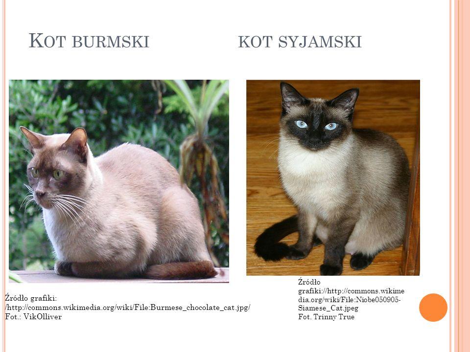 K OT BURMSKI KOT SYJAMSKI Źródło grafiki: /http://commons.wikimedia.org/wiki/File:Burmese_chocolate_cat.jpg/ Fot.: VikOlliver Źródło grafiki://http://