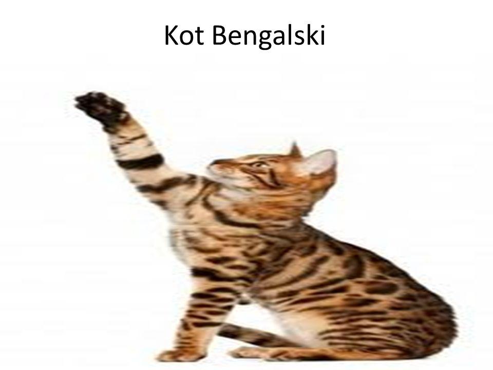 Kot Bengalski