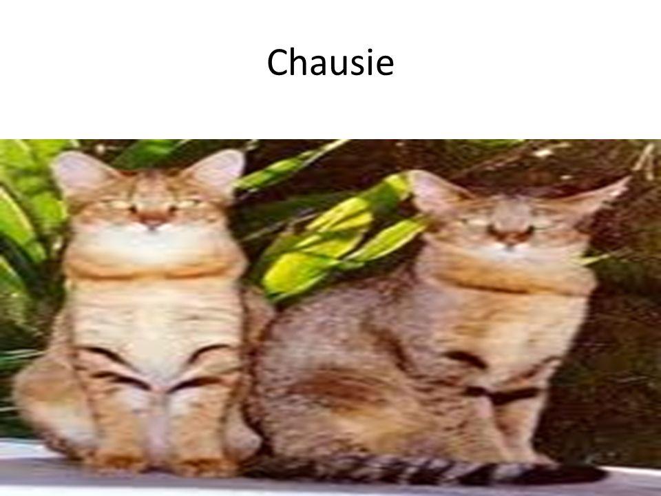 Chausie