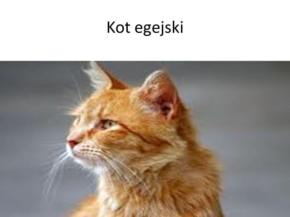 Kot egejski