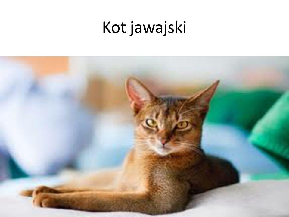 Kot jawajski