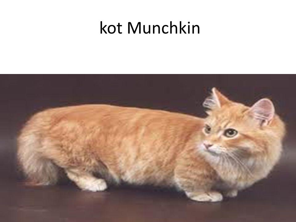 kot Munchkin