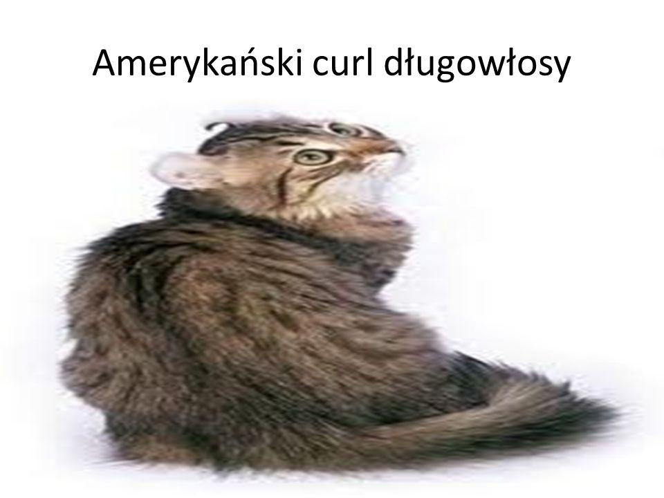 Angora turecka