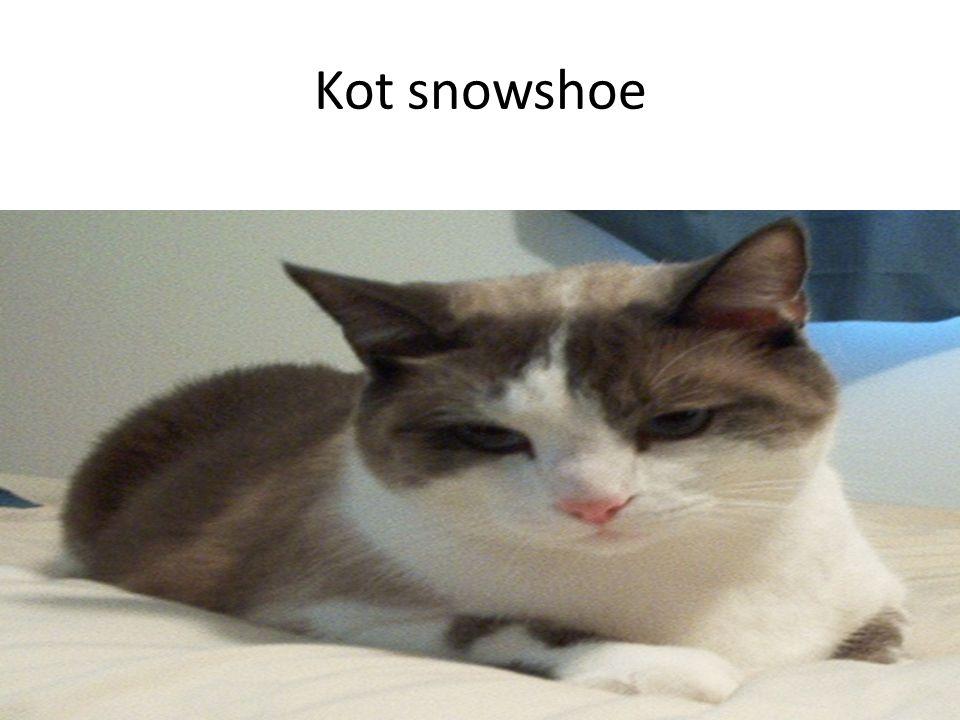 Kot snowshoe