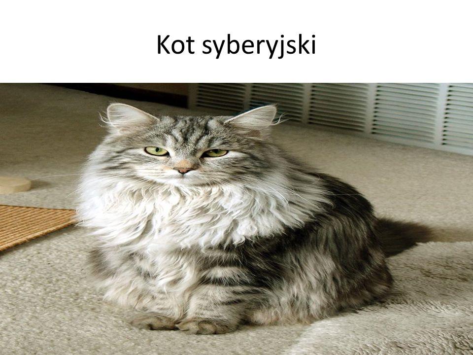 Kot syberyjski