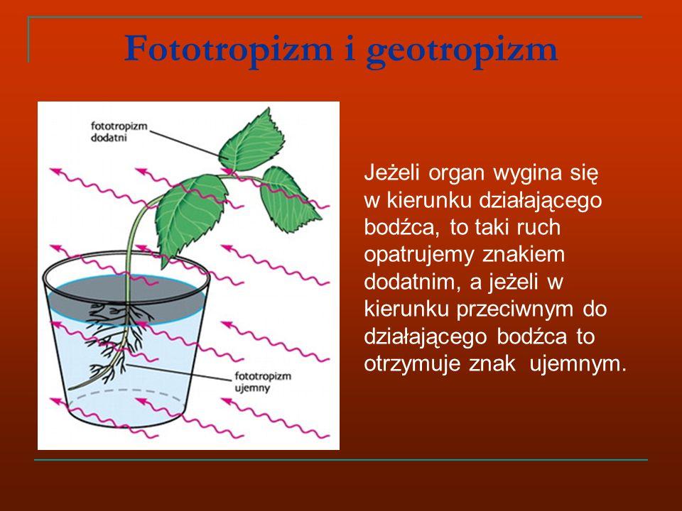Fototropizm i geotropizm Jeżeli organ wygina się w kierunku działającego bodźca, to taki ruch opatrujemy znakiem dodatnim, a jeżeli w kierunku przeciwnym do działającego bodźca to otrzymuje znak ujemnym.