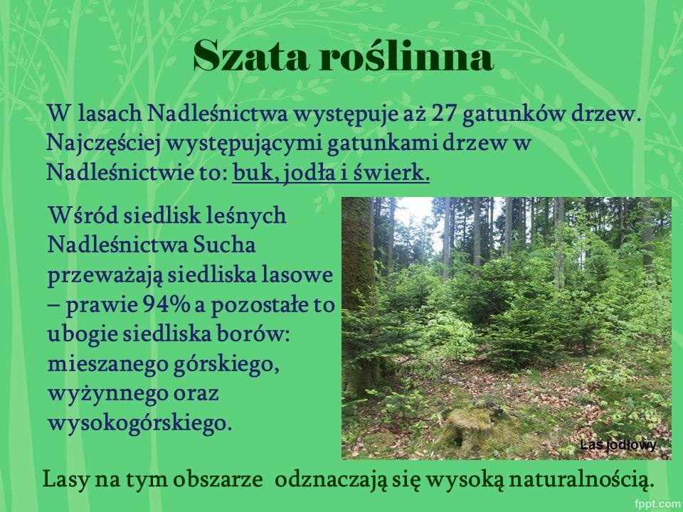 Szata ro ś linna W lasach Nadleśnictwa występuje aż 27 gatunków drzew.