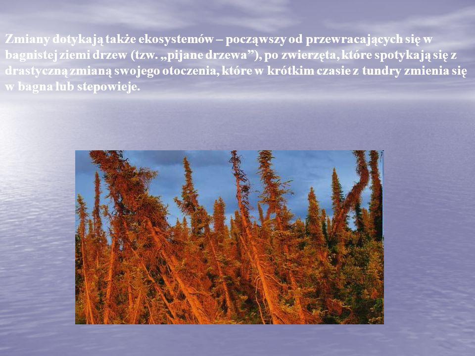 """Zmiany dotykają także ekosystemów – począwszy od przewracających się w bagnistej ziemi drzew (tzw. """"pijane drzewa""""), po zwierzęta, które spotykają się"""