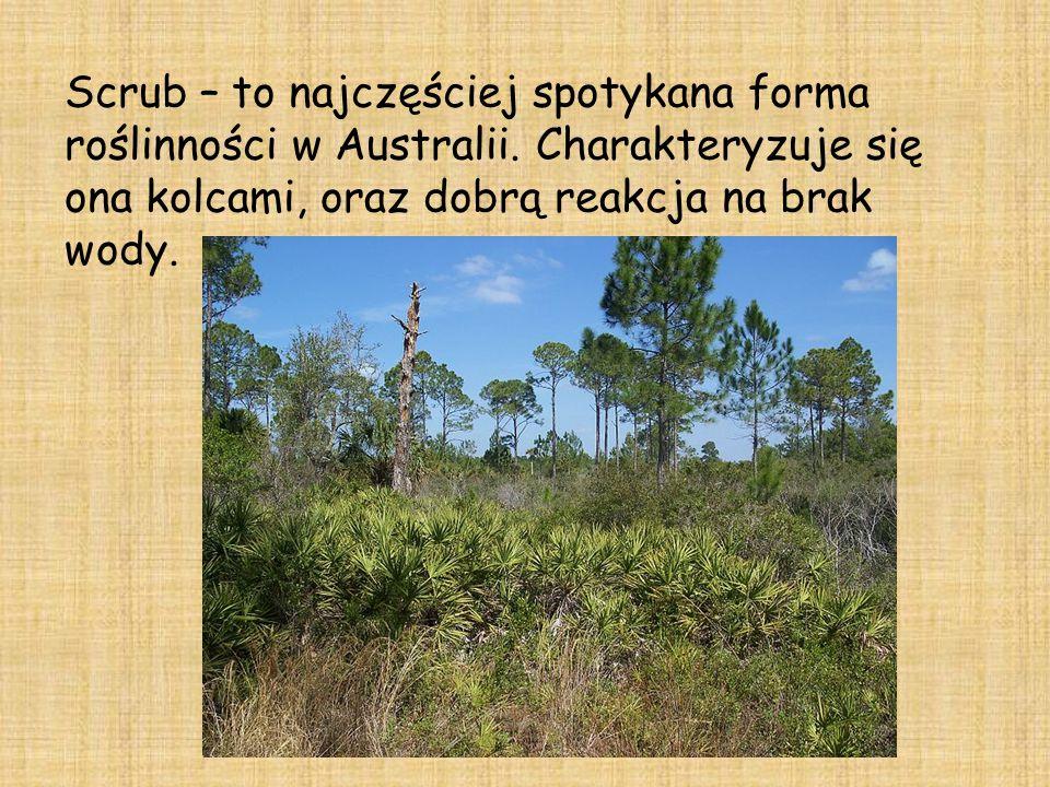 Scrub – to najczęściej spotykana forma roślinności w Australii.