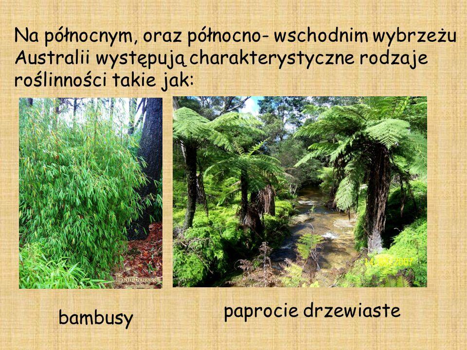 Na północnym, oraz północno- wschodnim wybrzeżu Australii występują charakterystyczne rodzaje roślinności takie jak: bambusy paprocie drzewiaste